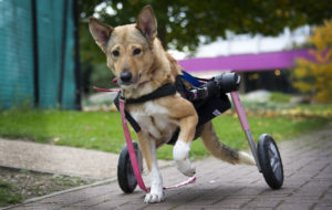 Copyright Pic by Andrew Price/View Finder Pictures-Chester 07774611778 Picture taken 201018.  Caption: 6 year old Ella who was found wandering the streets of Egypt paralyzed from the back down, she had lost the use of her back legs and was dragging herself around, she had been thrown off the top of a building. Miracles mission.org brought her to the UK to try and give her some sort of life. A new wheel chair for dogs was made so she could get around and she now runs around with the other dogs. See story from Liz Hull.